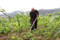 Ancião com uma remoção de ervas daninhas da enxada no campo de milho Foto de Stock Royalty Free