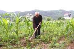 Ancião com uma remoção de ervas daninhas da enxada no campo de milho Imagens de Stock