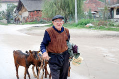 Ancião e suas cabras que vão em casa após o pasto na vila perto da cidade de Strumica, Macedônia Foto de Stock Royalty Free