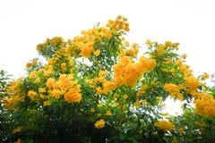 Anciano amarilla, campanas amarillas, o Trumpetflower Imagenes de archivo
