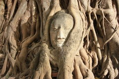 Ancient. Head of image of Buddha in bo tree Stock Photo
