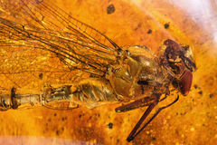Ancient amber and dragonfly Royalty Free Stock Photography
