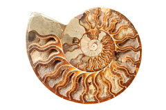 Ancient ammonite. Beautiful old ammonite isolated on white background Royalty Free Stock Photos