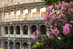 Ancient amphitheater Colosseum in Rome. Shrub with pink flowers Stock Images