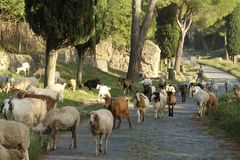 Many sheeps crossing the ancient Appianian way in Rome. stock photo