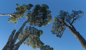 Ancient Araucaria trees. Huge ancient araucaria trees from the bottom and a blue sky Royalty Free Stock Photography