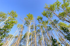 Ancient aspen trees in the morning sun Royalty Free Stock Images
