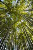 Ancient bamboo forest Royalty Free Stock Image