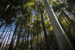 Ancient bamboo forest Stock Photo