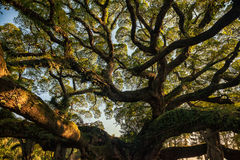 Ancient banyan canopy Stock Image