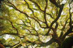 Ancient banyan canopy. At sunny Stock Images