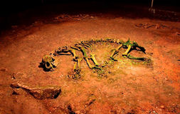 Ancient bear skeleton. Cave bear skeleton - Ursus spelaeus - exposed in the Bears' Cave, Romania Royalty Free Stock Photography