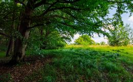 Ancient beech forest meadow in summer. Beautiful scenery in shade of old trees Royalty Free Stock Image