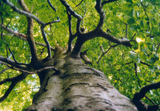 Ancient Beech Tree Royalty Free Stock Images