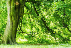 Ancient beech tree stock images