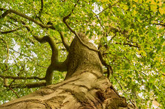 Ancient beech tree Stock Photo