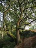 Ancient Beech and Wall Royalty Free Stock Photography