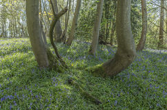 Ancient Bluebell Wood Stock Images