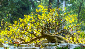 Ancient bonsai tree yellow apricot blooming in spring weather Royalty Free Stock Image