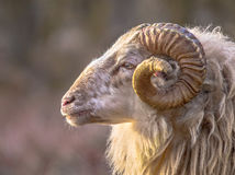 Ancient breed of long-tailed sheep Stock Photography
