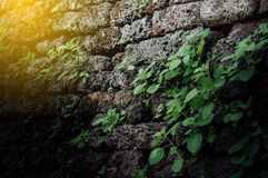 Ancient brick wall with antique have sapling trees along the walls.The old wall is filled with weeds that are cluttered and dirty. royalty free stock photos