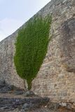 Ancient brick wall of a fortress with growing ivy. Ivy formed the shape of a tree. City Old Bar in Montenegro. Summer stock photos