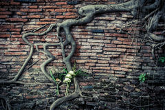 Ancient brick wall with growing banyan tree roots Stock Image