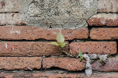 Ancient brick wall and little tree Stock Image