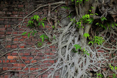 Ancient brick wall with tree root and new life Stock Photography