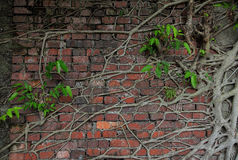 Ancient brick wall with tree root and new life. Root of tree covered old brick wall with strong new green life Stock Photography