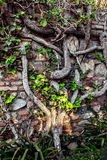 Ancient brick wall with tree roots Royalty Free Stock Photos