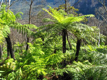 Ancient bright green tree fern growing in rainforest Stock Image