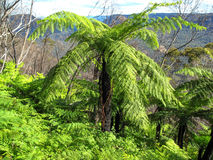 Ancient bright green tree fern growing in rainforest Royalty Free Stock Photos
