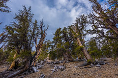 Ancient Bristle Cone Pinte Great Basin Royalty Free Stock Image