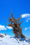 Ancient Bristlecone Pine. Stand alone on a mountain top in california Stock Photo