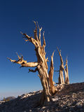 Ancient Bristlecone Pine royalty free stock image