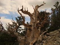 Ancient Bristlecone Pine Royalty Free Stock Photo