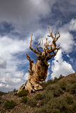 Ancient Bristlecone Pine And Stormy Sky Stock Image