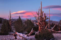 Ancient Bristlecone Pine, California Stock Photos
