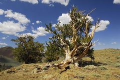 Ancient bristlecone pine in eastern California Royalty Free Stock Image