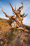 Ancient Bristlecone Pine Forest. In late afternoon royalty free stock photography