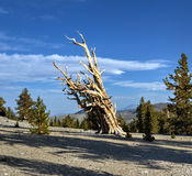 Ancient Bristlecone Pine Forest Royalty Free Stock Images