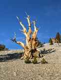 Ancient Bristlecone Pine Forest Royalty Free Stock Photos