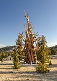 Ancient Bristlecone Pine Forest Stock Photos