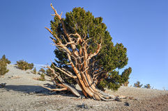 Ancient Bristlecone Pine Forest. A protected area high in the White Mountains in Inyo County in eastern California royalty free stock photos
