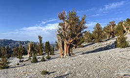Ancient Bristlecone Pine Forest. A protected area high in the White Mountains in Inyo County in eastern California royalty free stock photo