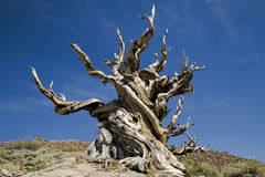 Ancient Bristlecone Pine Tree, California. This ancient bristlecone pine tree is found at the Bristlecone Pine Forest in the White Mountains, Inyo County Royalty Free Stock Photography