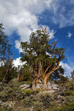 Ancient Bristlecone Pine Tree Stock Images