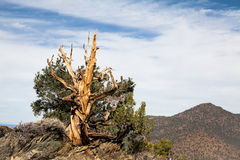 Ancient Bristlecone Pine Tree Stock Image