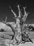Ancient Bristlecone Pine Tree Stock Photo
